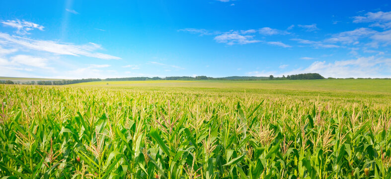 Corn field in the sunny and blue sky. Wide photo.