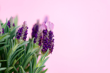 Fresh lavender flowers on pink background, copy space