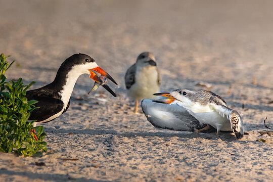 black skimmer feeding its baby on the beach