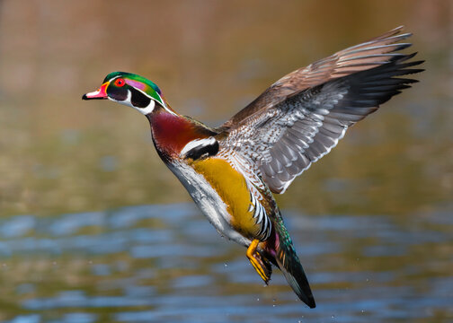 a male wood duck in flight, display its beautiful colors.