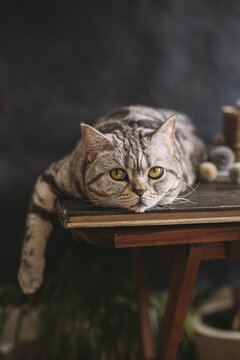 Portrait of a funny cat (Scottish Straight breed), laying on the table, dark background.