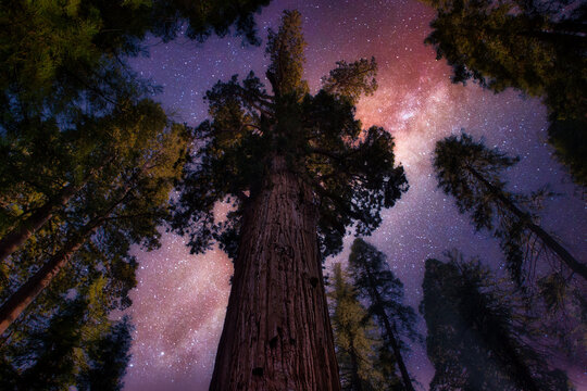 Looking up at Sequoia trees and night stars