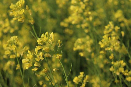 Selective focus shot of beautiful yellow mustard flowers