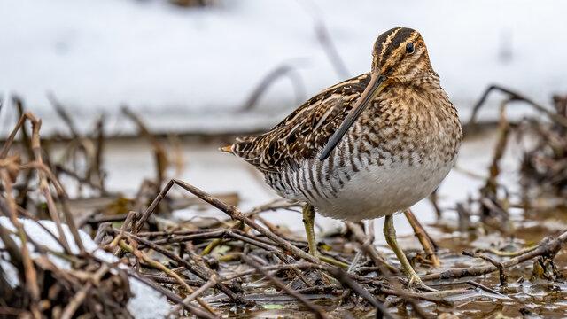 Wilson Snipe shore bird portrait in the snow