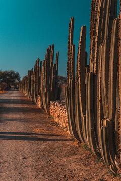 Camino de tierra con cactus altos