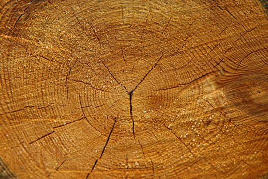 Cross section of tree trunk, log end