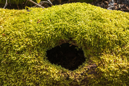 Green moss on a fallen tree trunk with a hole