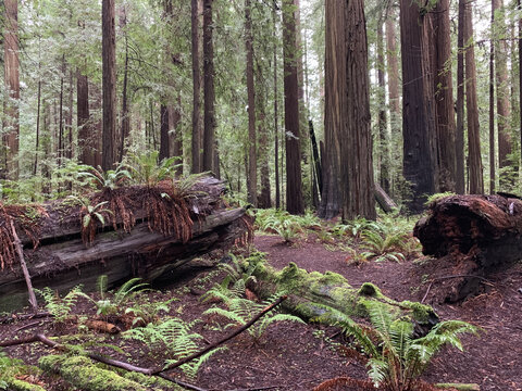 Sequoia redwoods and ferns in the forest in Mendocino County, California, the USA