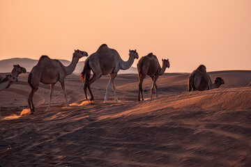 Caravan of camels walking on the hot sand in the desert gleaming under the sunset