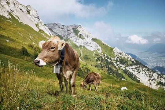 Cows with bell grazing against valley and mountains. Beautiful landscape under Mount Pilatus.  Lucerne, Switzerland.
