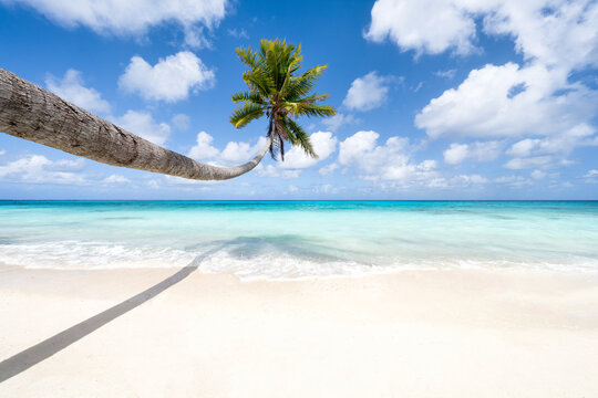 Hanging palm tree along a tropical beach