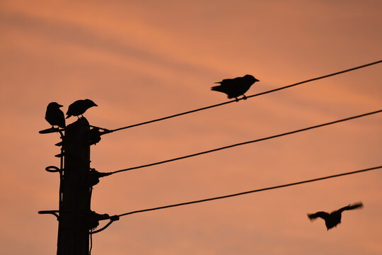 Sillhouette of birds on a power line during sunrise.