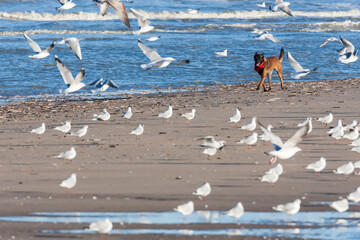 Wall Murals Dog Dog chasing gulls at beach