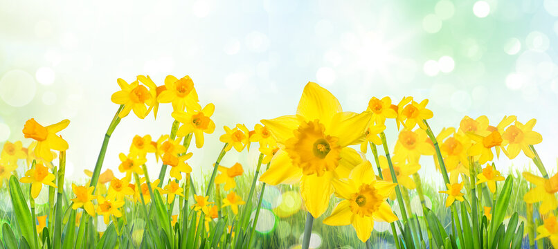 Spring Easter background with beautiful yellow daffodils.