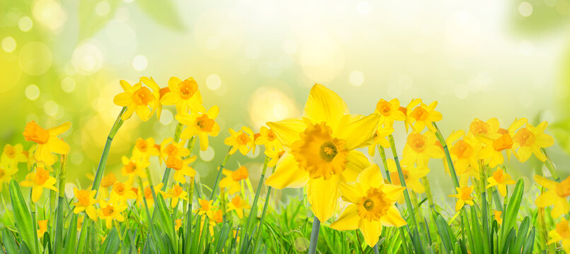Yellow daffodils in spring background on bokeh blurred green,fresh landscape.