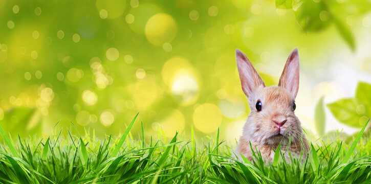 Little rabbit in spring with high easter grass on meadow with long rabbit ears.