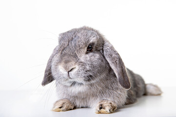 Cute easter bunny with gray fur and floppy ears, dwarf ram, dwarf rabbit against isolated...