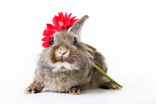 Portrait of young, cute easter rabbit with a red flower isolated on white background.
