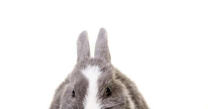 Cute gray, white dwarf rabbit, easter bunny looking at camera.