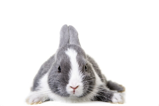 Cute gray, white dwarf rabbit, easter bunny lies on his belly and looks directly into the camera.