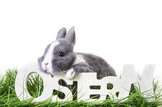 Cute gray, white dwarf rabbit, easter bunny sits on the meadow in the grass and looks over german word-ostern- in wood writing.