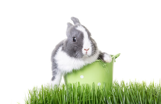 Cute gray, white dwarf rabbit, easter bunny sitting in flower pot with easter eggs on ears.