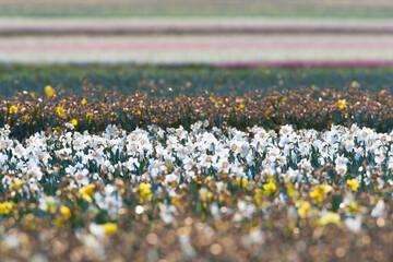 Bollenveld, Bulb field