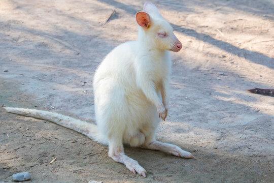 Closeup of a Red-necked Wallaby white albino female, kangaroo (Macropus rufogriseus)