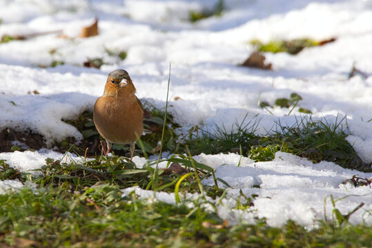 A single chaffinch sitting on snowy ground looks at a blade of grass