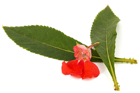 Scarlet flower of Impatiens balsamina, garden balsam jewelweed touch-me-not plant, isolated on white background