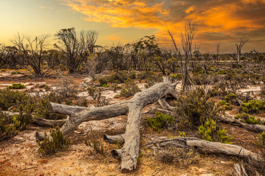 Sunset over Australian landscape with Mallee scrub and natural undergrowth and lying dried and torn tree trunks against background of orange sky setting sun