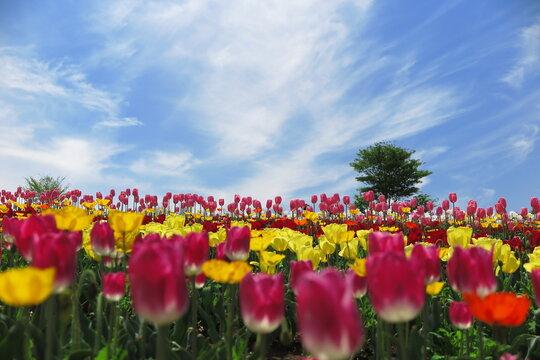 色とりどりのチーリップ畑 青空が広がる晴れの日の景色