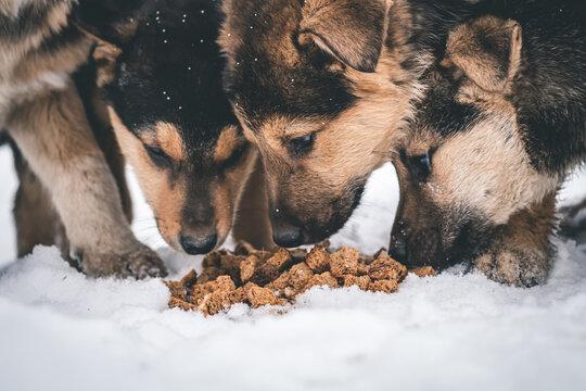 flock of puppies eating food
