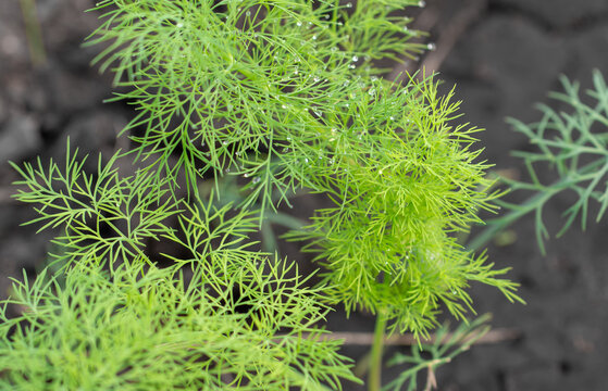 Green dill in the garden.