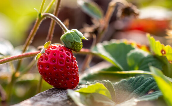 Red strawberry berry in the vegetable garden.