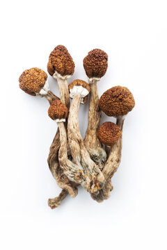 dry psilocybin mushrooms psilocybe cubensis