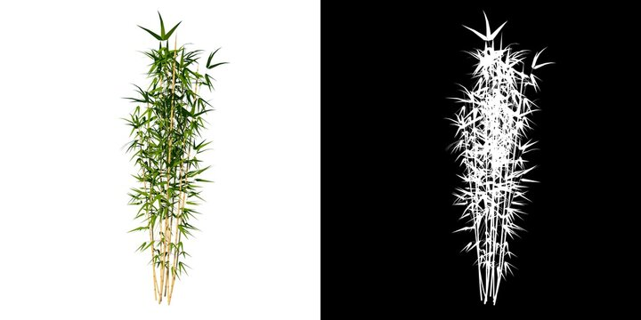Front view of Plant (Bamboo 3) Tree png with alpha channel to cutout made with 3D render