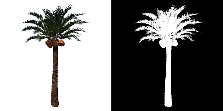 Front view of Plant (Coconut palm tree 1) Tree png with alpha channel to cutout made with 3D render