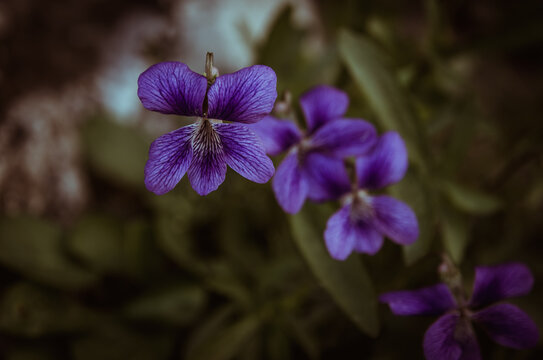 scented purple viola flower