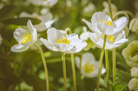 wild anemone flowers blooming in sunny day