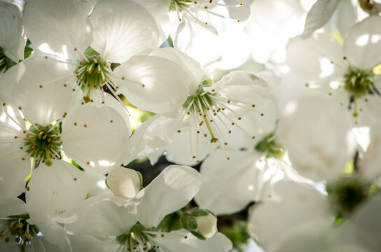 white blossoming flowers in spring fruit tree