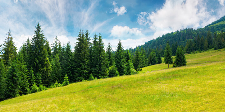 coniferous forests in mountains. summer landscape with green grass on the hills. nature scenery on a sunny day with clouds on the sky