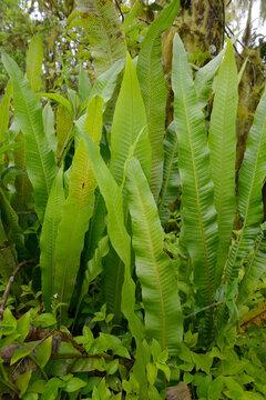Giant ferns, Scalesia forest, Los Gemelos craters, Santa Cruz Island, Galapagos Islands, Ecuador