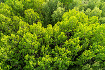 An aerial of lush and green European Aspen, Populus tremula forest during late spring in Estonia,...