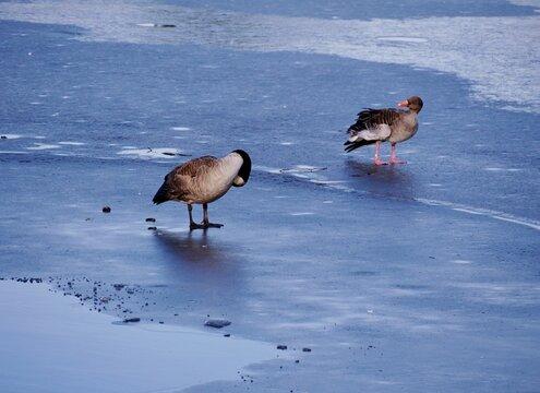 Gänse stehen auf zugefrorenem See
