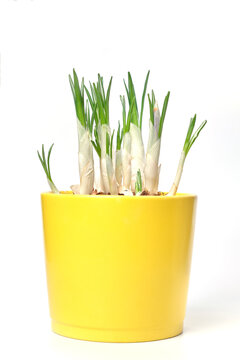 Crocus flowers grow in a yellow pot isolated on a white background, space for text copyspace, mock up