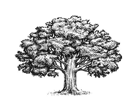 Oak tree with leaves isolated on white background. Vintage sketch vector illustration