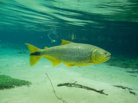 A dourado fish swimming in a river in bonito brazil