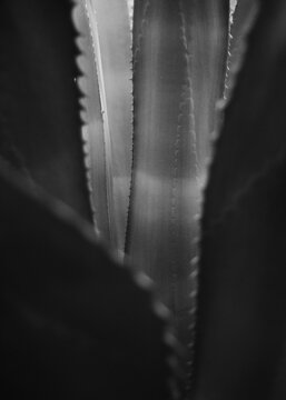 black and white agave americana leaves on a rockery