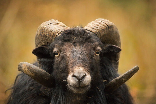 portrait of a big horn sheep